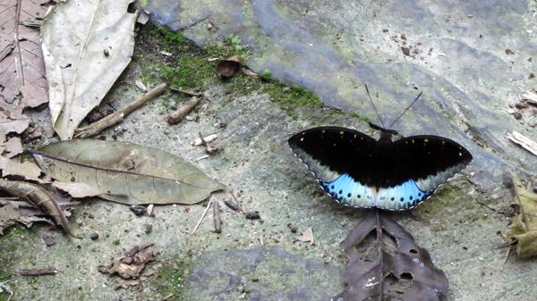 pui-orman-kelebek
